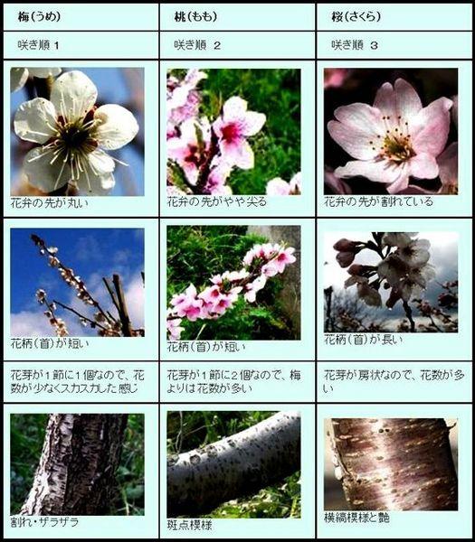梅と桜の見分け.jpg